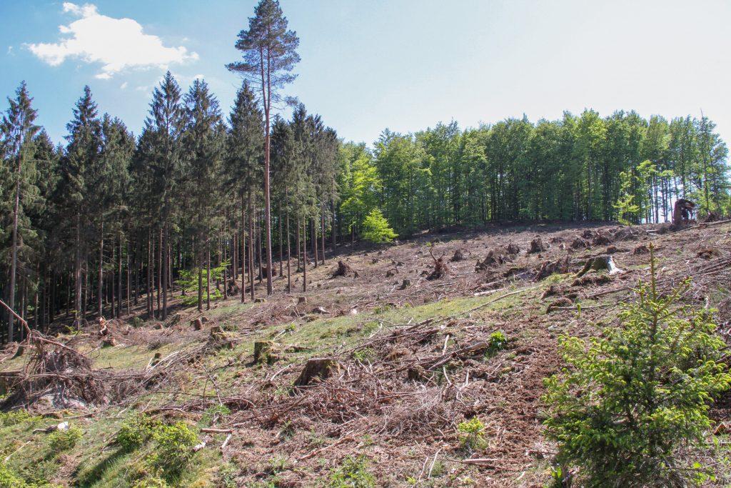 Rettet den lippischen Wald: Kahlfläche mit Lärchen bepflanzt